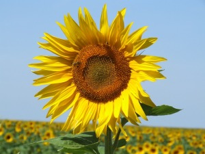 Sunflowers - as French as Les Mis but alot more sunny.