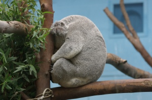 Britain's Koalas: May need to change diet to scones.